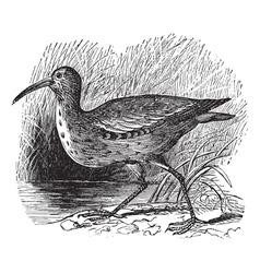 Eskimo Curlew vintage engraving vector image