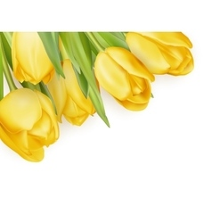 Yellow fresh tulips on white eps 10 vector