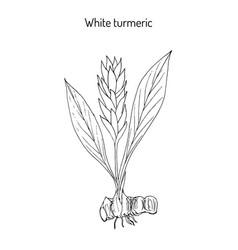 curcuma zedoaria zedoary white turmeric vector image