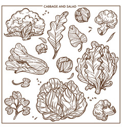 Salad lettuce and cabbages vegetables vector