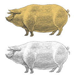 Pig or swine in vintage engraved style vector image