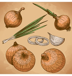 Engraving onion retro vector