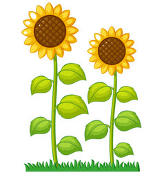 two sunflowers in the garden vector image