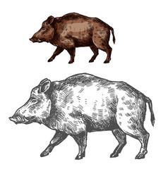 boar aper muzzle sketch wild animal vector image vector image