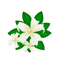 Orange Jessamine or Mock Orange Flowers on White vector image vector image