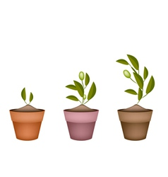 Three Olives Tree in Ceramic Flower Pots vector image