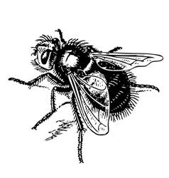 echinomyia vector image