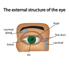 The external structure of the eye vector image