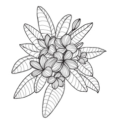 Bouquet with Plumeria or Frangipani flower vector image vector image