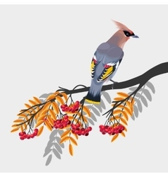 Waxwing on rowan branch vector