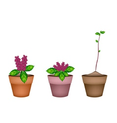 Fresh thai basil plant in ceramic flower pots vector