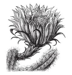 Nightblooming Cereus vintage engraving vector image