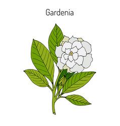 gardenia jasminoides gardenia vector image