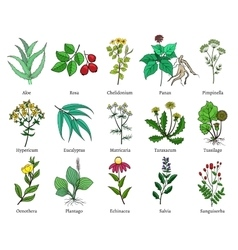 Hand drawn medical herbs and plants vector image