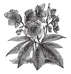 Black Hellebore vintage engraving vector image vector image