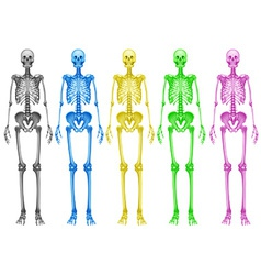 Coloured skeletons vector