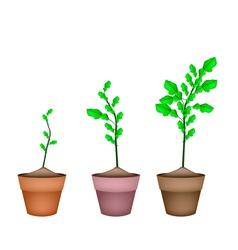 Kaffir lime tree in ceramic flower pots vector