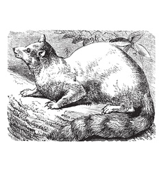 Ringtail vintage engraving vector image vector image