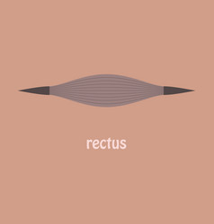 Flat rectus - didactic board of anatomy of vector