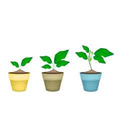 Noni or morinda citrifolia tree in ceramic pots vector