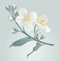 Twig jasmine flower and buds vintage vector