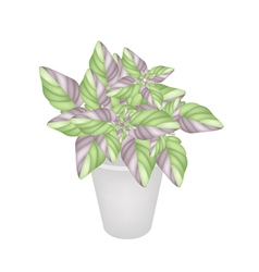 Beautiful Acanthaceae Plant in A Flower Pot vector image