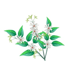 Night blooming jasmine on a white background vector