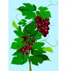 grapevine vector image