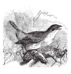 Shrike vintage engraving vector image vector image