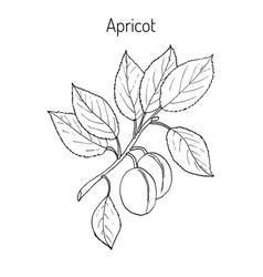apricot hand drawn branch vector image vector image