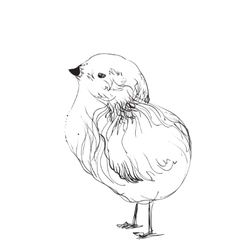 Hand-drawn pencil graphics chicken chick vector