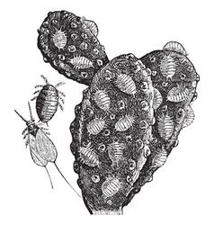 Mealybug vintage engraving vector image vector image