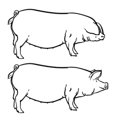 Drawing outline  hand drawn pig isolated vector
