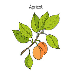 Apricot hand drawn branch vector