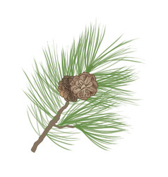 Pinecone pine tree branch isolated floral vector
