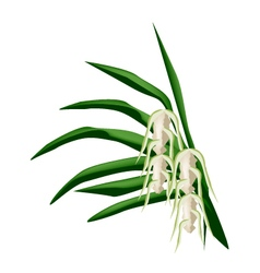 Screw Pine Flowers on A White Background vector image