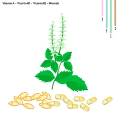 Holy basil with vitamin a b1 and b2 vector