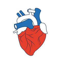 Human heart medical anatomical artery vector