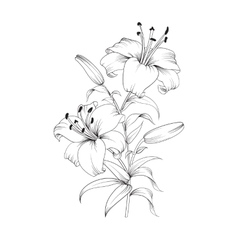 Blooming lily flower vector image