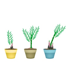 Fresh bamboo plants in ceramic flower pots vector