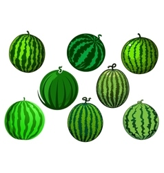 Fresh green striped watermelons fruits vector
