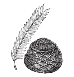 Sago Palm vintage engraving vector image