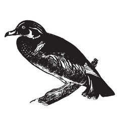 Wood duck vintage vector
