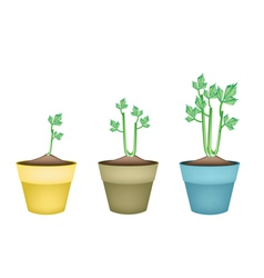 Fresh celery root in ceramic flower pots vector