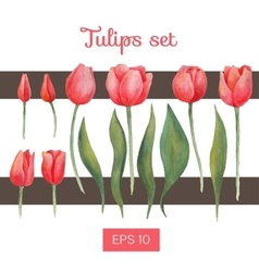 Watercolor isolated tulips set vector