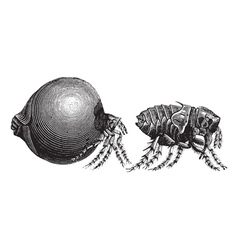 Tick vintage engraving vector image vector image