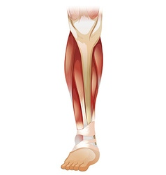 Lower muscle vector image vector image