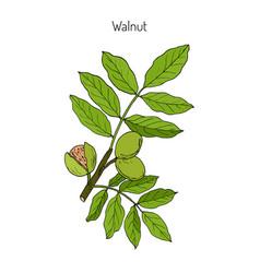 walnut branch juglans regia vector image vector image