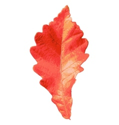 Autumn leaf on white background vector