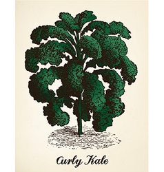 Curly kale vintage vector